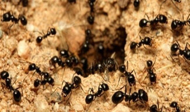 Dünya'da her insana 1.6 milyon karınca düşmektedir.