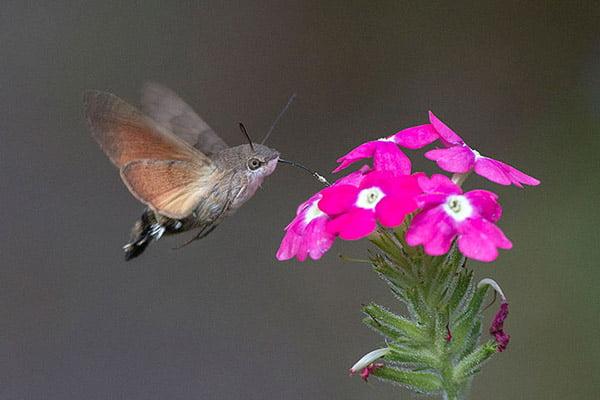 Sfenks Hummingbird (Atmaca Güvesi)