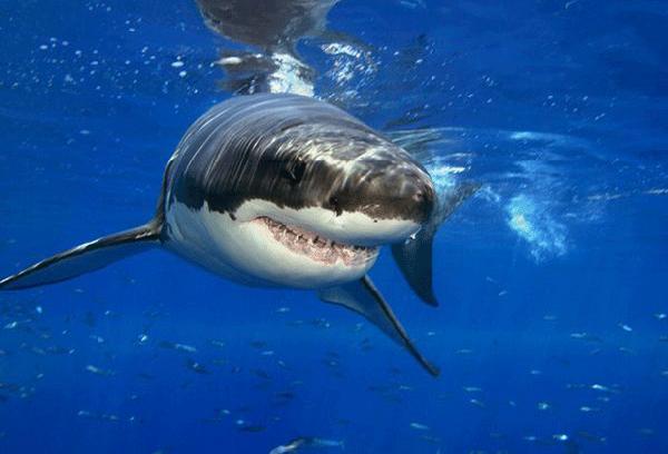 Büyük Beyaz Köpekbalığı
