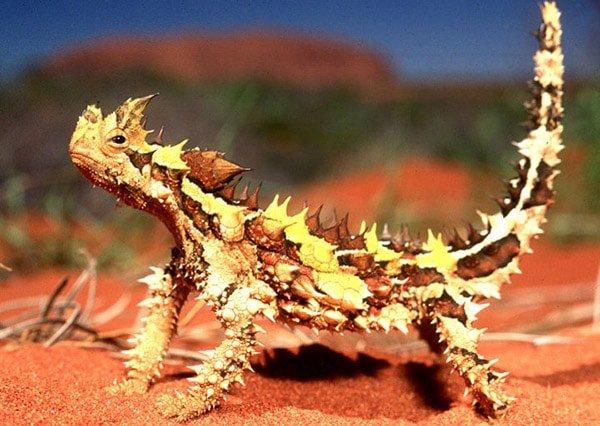 Thorny Dragon (Dikenli Ejderha)