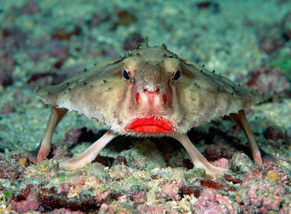 Red-Lipped Batfish (Kırmızı Dudaklı Yarasa Balığı)
