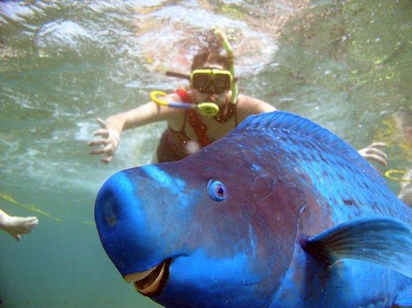 Blue Parrotfish (Mavi Papağan Balığı)