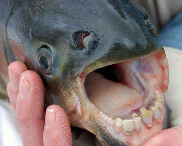 Pacu (Pacu Balığı)