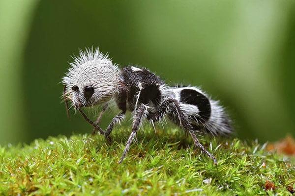 Panda Ant (Panda Karınca)