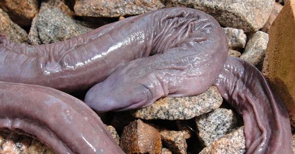 Penis Snake (Penis Yılanı)