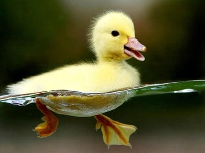 Bir ördeğin vaklaması eko yapmıyor ve kimse neden olduğunu bilmiyor.