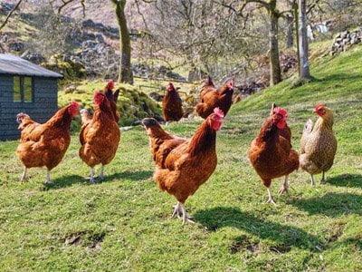 Dünya'da insandan çok tavuk vardır.